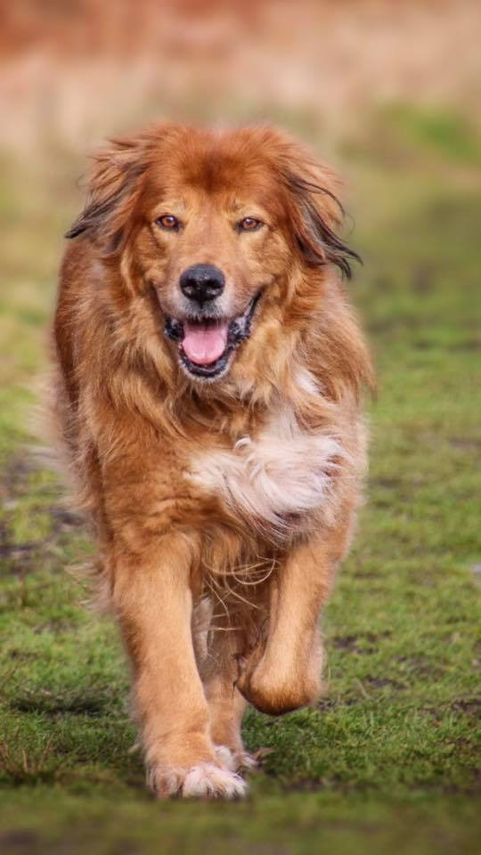 A Golden Retriever out dog walking in the woods with his dog walker