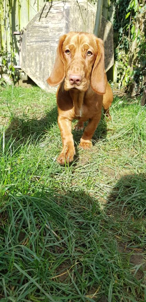 A Basset Hound pup n the garden at doggy daycare