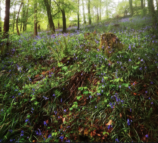 A woodland of bluebells in spring